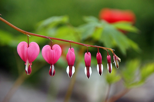 homeopathy surge because people love it - bleeding heart plant