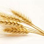 ears-of-wheat