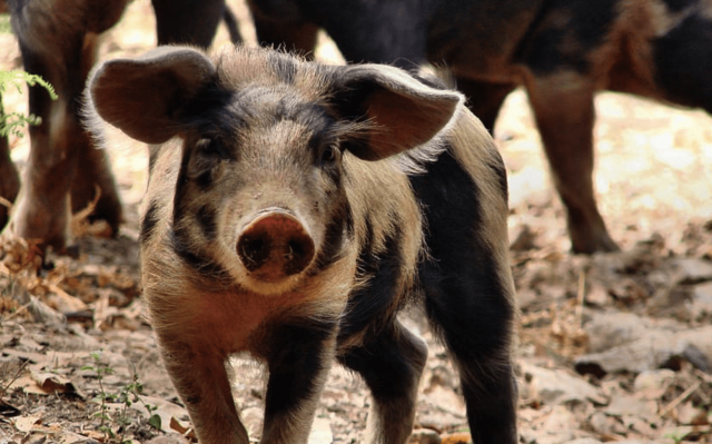 homeopathy research on piglets was successful
